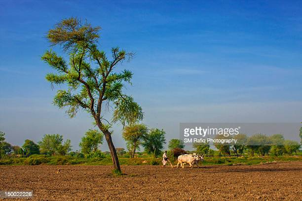 Farmer ploughing with bulls