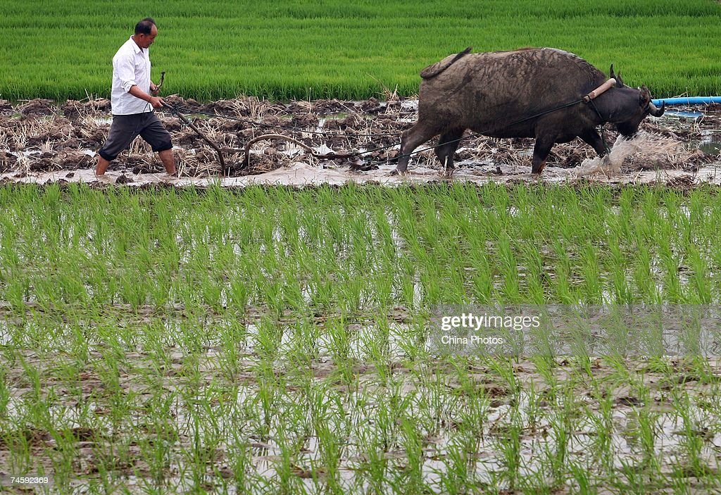 A farmer ploughs among rice seedlings in a field at the Xiahe Village on June 12, 2007 in the outskirts of Nanjing of Jiangsu Province, China. China's direct subsidy to its hundreds of millions of farmers will rise 63 percent from a year earlier to 42.7 billion yuan (about USUSD5.6 billion) this year, the Ministry of Finance announced late last month. The subsidy includes 15.1 billion yuan earmarked for grain planting and 27.6 billion yuan for farming materials like fertilizers and pesticides.