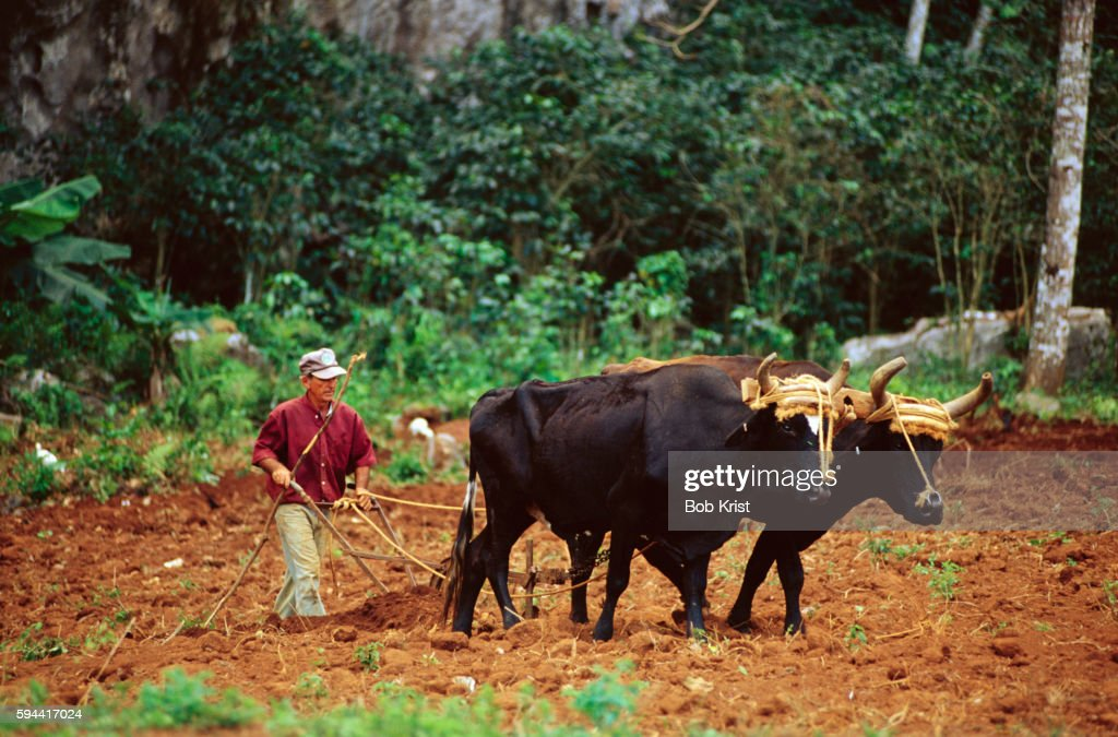 Farmer Plowing Field with Oxen