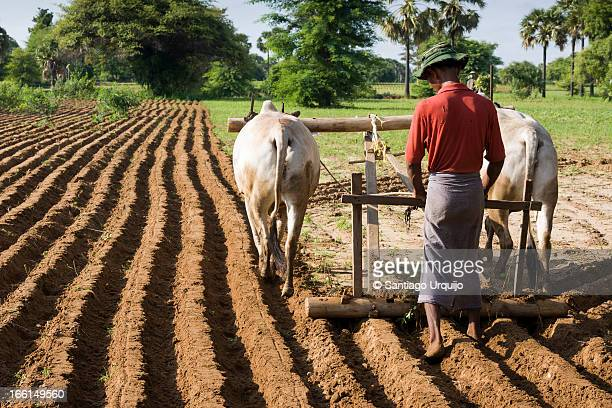 Farmer plowing with a traditional ox plow