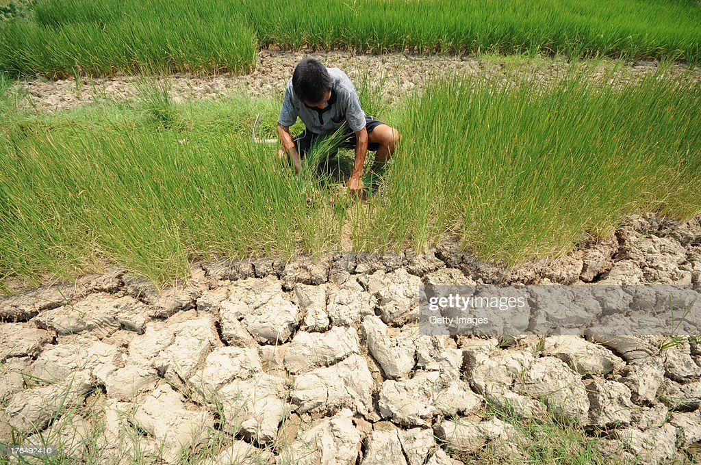 A farmer plucks withered rice plants on a dried-up paddy field at Shenzhai village on August 13, 2013 in Loudi, China. A lingering drought has dried up most of rivers and reservoirs in Hunan province as high temperatures and little rainfall this summer, leaving about 3.06 million people short of drinking water.