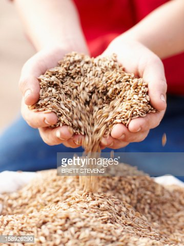 Farmer pouring handful of barley seeds