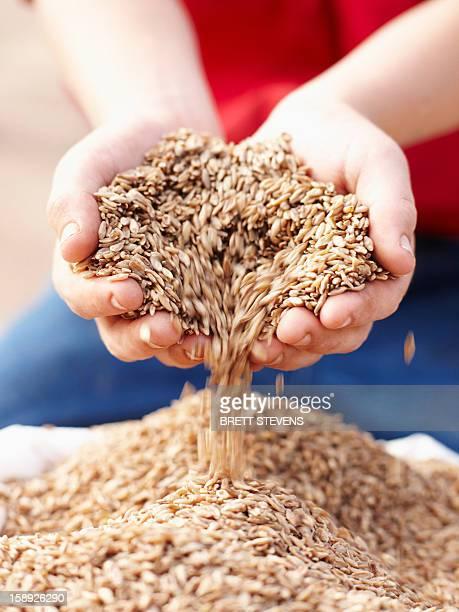 Farmer pouring handful of barley seeds