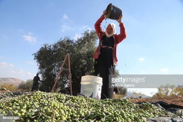 A farmer pours olives from a basket to one another in Nablus West Bank on October 15 2017 Farmers separate olives from the leaves after picking them...