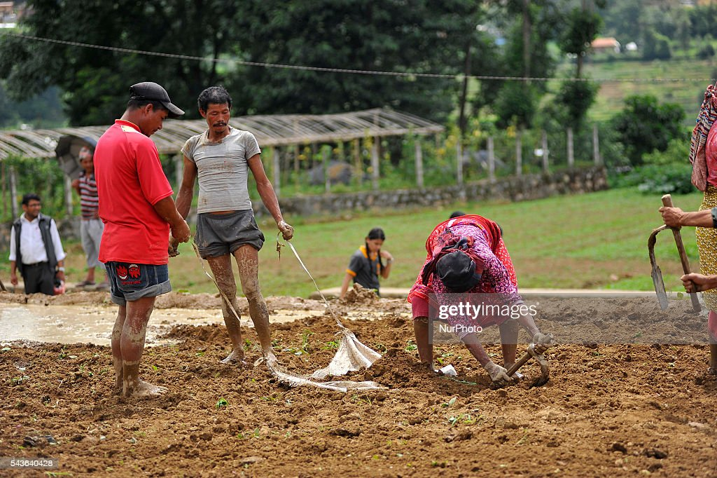 "A farmer prepares the ground for Rice Planntation during the celebration of National Paddy Day ""ASHAD 15"" Rice Plantation at Chapagaun, Patan, Nepal on June 29, 2016. Nepalese people celebrates Rice Plantation (National Paddy Day) Celebration on ""ASHAD 15"" (Nepali Calendar Date). Nationwide by planting rice, playing on mud and eating curd and beaten rice in the rice field. Due to the less rainfall on monsoon season, Most of the people Plants Rice by pumping water from nearer water source."