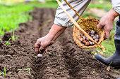 Farmer preparing garlic for planting in the vegetable garden, autumn gardening