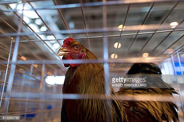A farmer presents a cock two days before the opening of the Paris international agricultural fair at the Porte de Versailles exhibition centre on...