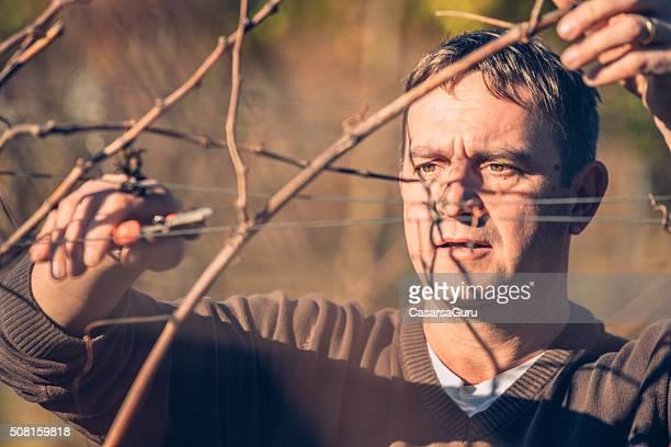 Landwirt Stutzen Weinrebe in Weinbergen im Winter, Nahaufnahme