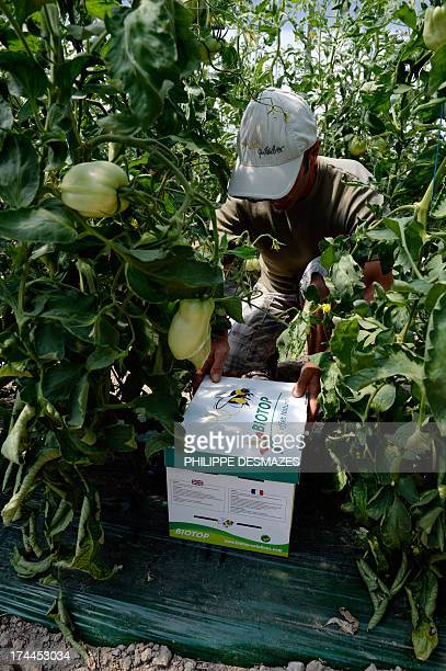 A farmer puts a box of bumblebee of Biotop in his tomatoes plants on 24 July 2013 at a truck farming in LivronsurDrôme near Valence southeastern...
