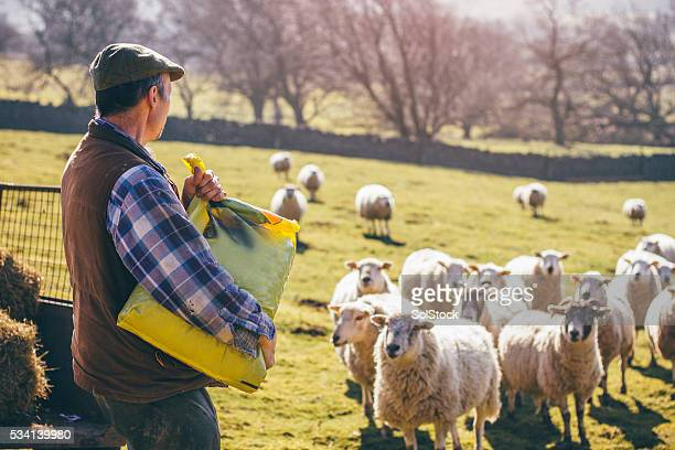 Farmer Putting Out Feed for the Sheep