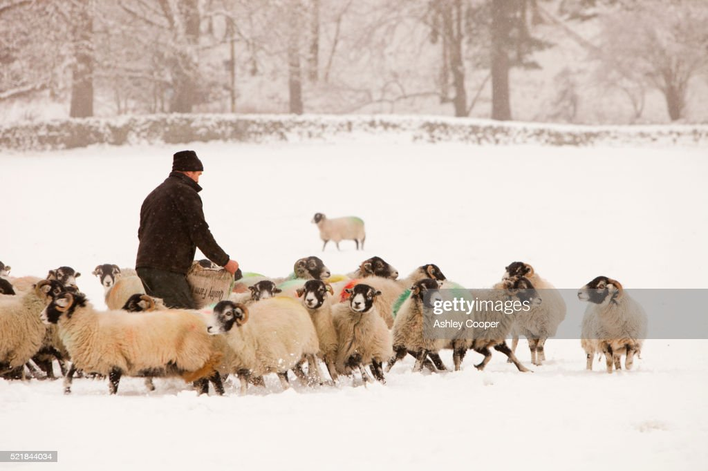 A farmer putting out winter feed for his sheep at Rydal in the Lake District during the big chill of December 2010.