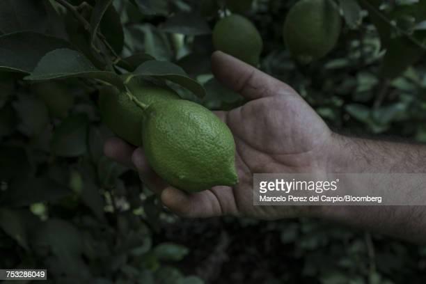 A farmer reaches for a lemon on a tree at a farm in Argentina