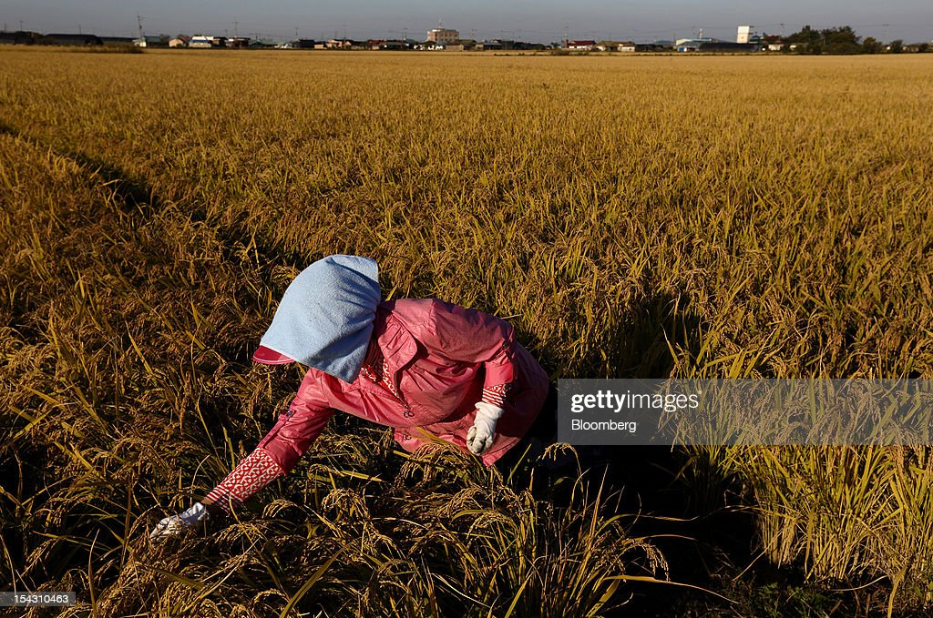 A farmer removes insects from a rice field in Asan, South Korea, on Thursday, Oct. 11, 2012. South Korea will boost production of rough rice to 5.801 million metric tons in the year that starts Nov. 1, compared with an estimated 5.616 million a year earlier, the U.S. Department of Agriculture's Foreign Agricultural Service said on Aug. 2 in a report posted on its website. Photographer: SeongJoon Cho/Bloomberg via Getty Images