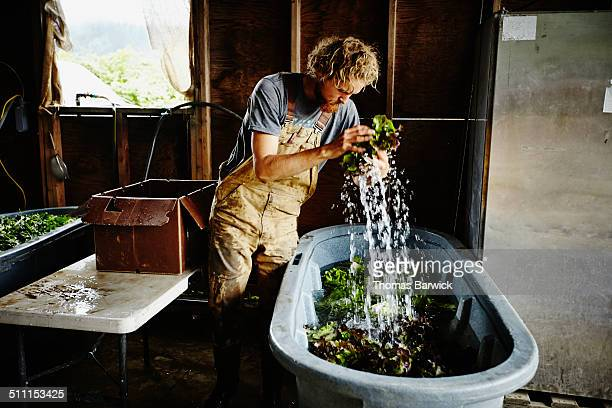 Farmer removing organic lettuce from wash bin