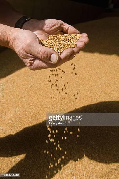 Agricoltore rovesciarti una manciata di cereali