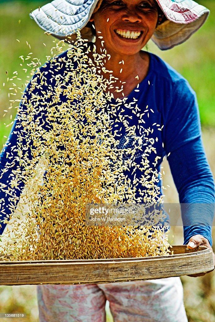 Farmer sifting rice,Ubud,  Bali, Indonesia, : Stock Photo