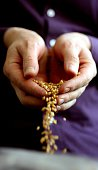 A Farmer sifts grains of wheat with his hands 27 November 2006 THE AGE Picture by VIKI LASCARIS