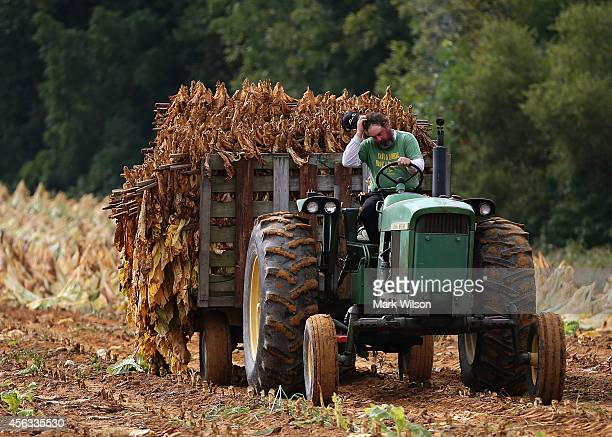 Farmer SL Brady drives a tractor pulling a trailer full of tobacco leaves so they can be hung and dried in a barn at Lewis Farm September 29 2014 in...