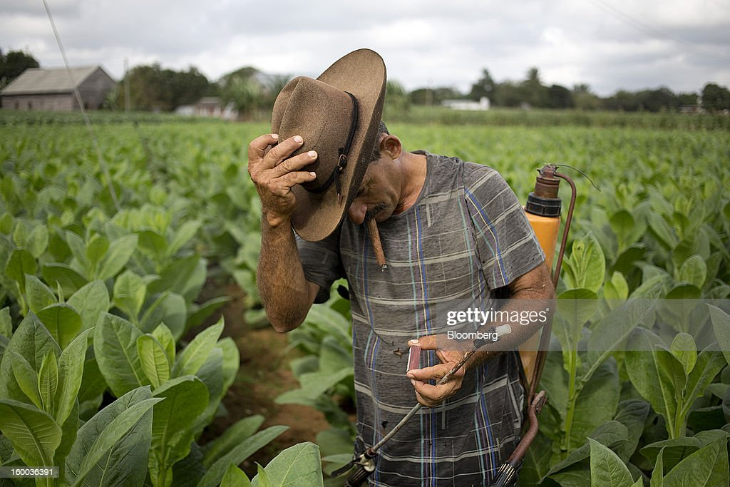 A farmer smokes a cigar while working in a field of tobacco plants on a plantation near Pinar del Rio, Cuba, on Monday, Jan. 14, 2013. In a country where the average monthly salary is $19, according to Cuba's statistics agency, even buying an airplane ticket will be beyond the reach of most of the island's 11 million residents as President Raul Castro begins easing travel rules on the communist island. Photographer: Andrey Rudakov/Bloomberg via Getty Images