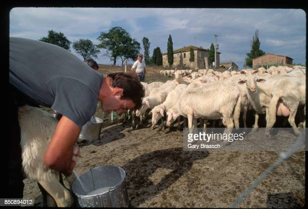 A farmer smokes a cigarette as he milks a goat amid the herd on a ranch a few miles from Castelnuovo south of Siena Italy