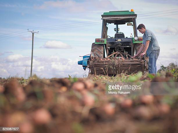 Farmer sorting crop of organic potatoes