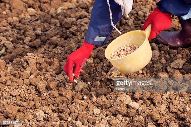 Farmer sowing seed of peanut