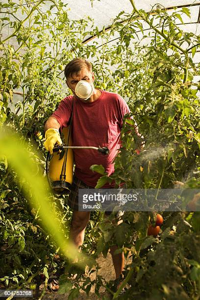 Farmer spraying his tomatoes in a polyethylene tunnel.