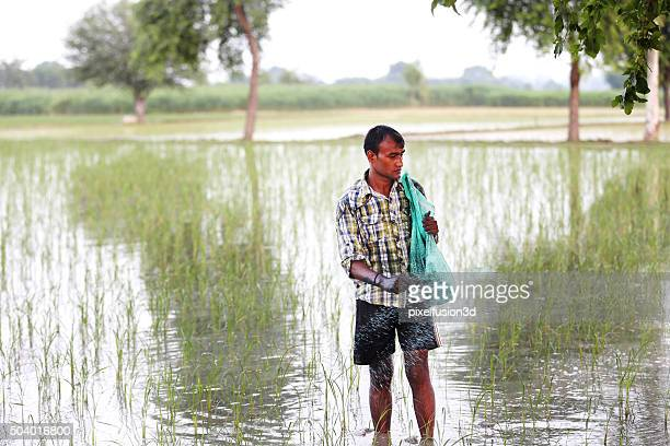 Farmer Spreading Fertilizer In Paddy Field