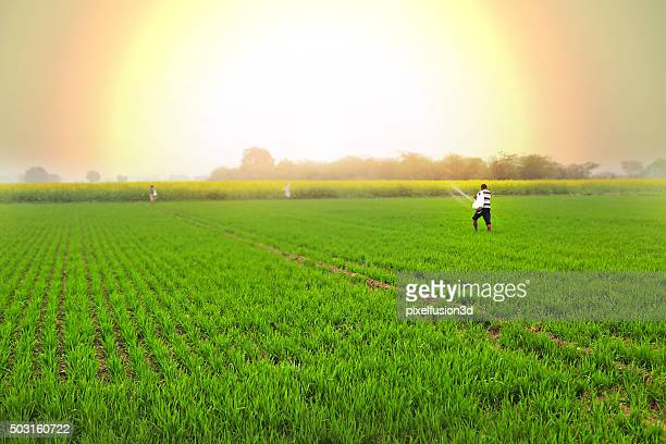 Farmer Spreads fertilizers in the Field wheat