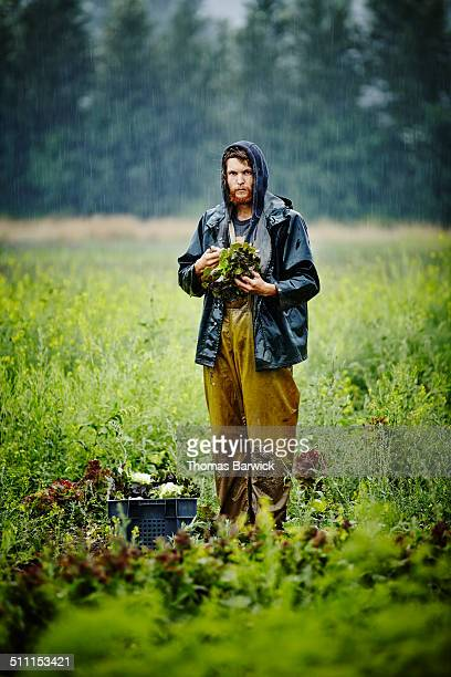Farmer standing holding head of lettuce in field