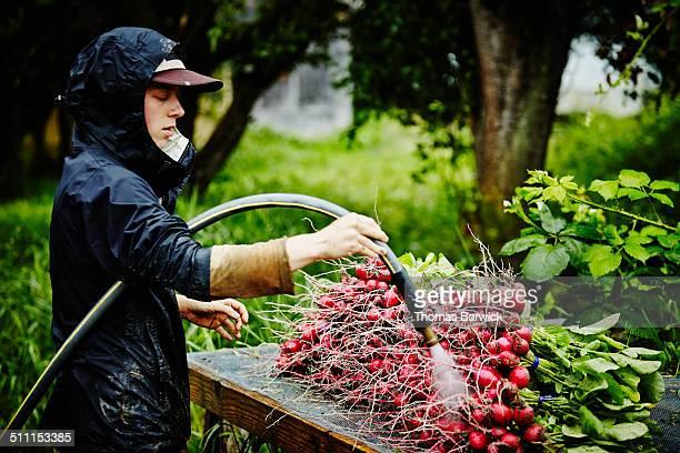 Farmer standing washing radishes on workbench