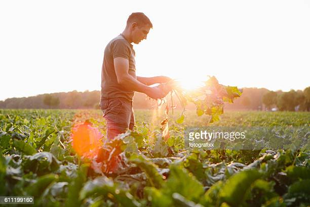 farmer stands in his fields, looks at his sugar beets