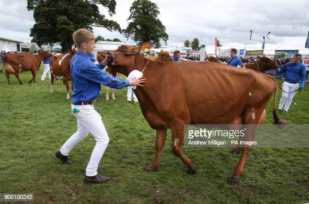 A farmer struggles to keep his Ayrshire cow under control in show ring during the Royal Highland Show in Edinburgh