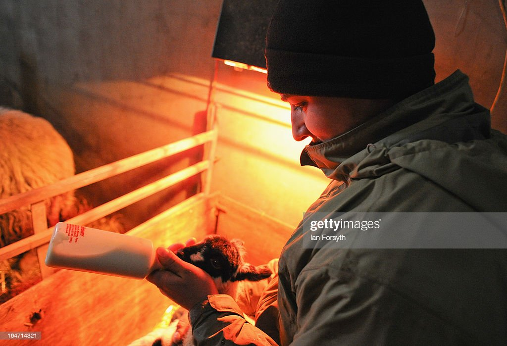 Farmer Stuart Buckle bottle-feeds a day old lamb after its mother died at his farm in the hamlet of Barras on March 27, 2013 near Kirkby Stephen, Cumbria, England. Stuart, 23, runs Bleathgill Farm with his father Wilf and as heavy snow continues to fall, extra effort is needed to look after and protect their Swaledale sheep from the cold. Across the UK, farmers are battling to save livestock after heavy snow and freezing temperatures has left thousands of sheep and cattle stuck in the fields with no access to food and fresh water.