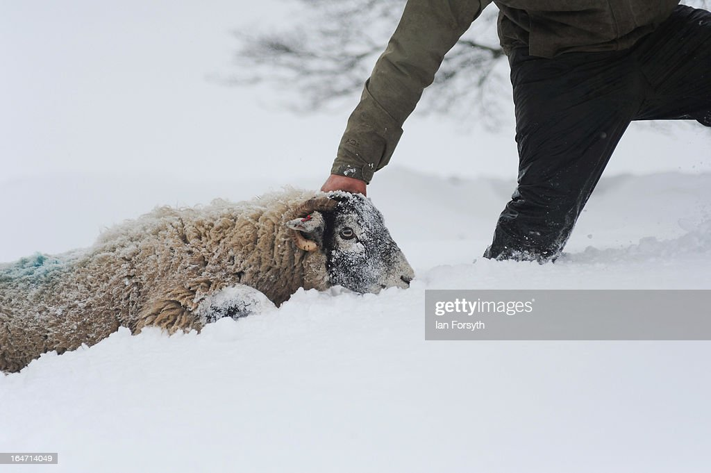 Farmer Stuart Buckle tends to sheep on his farm in the hamlet of Barras during heavy snow on March 27, 2013 near Kirkby Stephen, Cumbria, England. Stuart, 23, runs Bleathgill Farm with his father Wilf and as heavy snow continues to fall, extra effort is needed to look after and protect their Swaledale sheep from the cold. Across the UK, farmers are battling to save livestock after heavy snow and freezing temperatures has left thousands of sheep and cattle stuck in the fields with no access to food and fresh water.