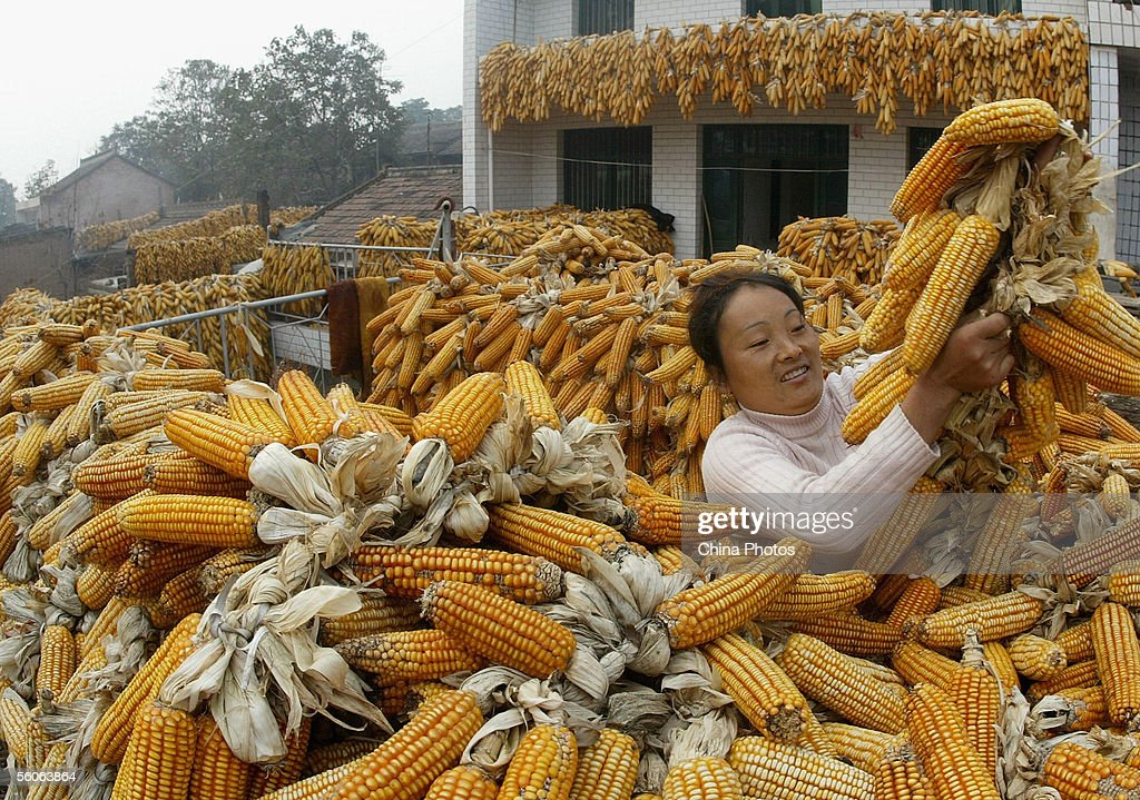 A farmer suns the havested corn cobs in her house at Niuzhai Village on November 3, 2005 in Wugong County of Shaanxi Province, China. Local villages have got a bumper crop of corn this year. According to the Office of Central Financial Work Leading Group, China's grain production this year is expected to reach 475 million tons, up from 469.5 million tons in 2004. There has been a continuous rise in production since 2003, when China's grain output hit 430 million tons, a 14-year low.