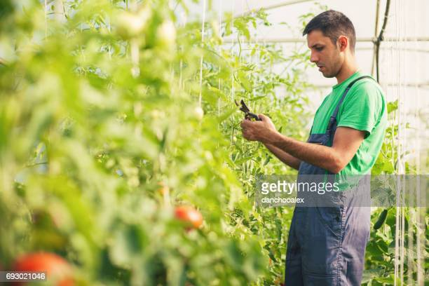 Farmer taking care of tomatoes in the green house