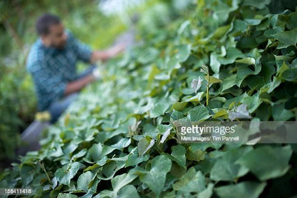 A farmer tending to cucumber plants in an organic garden.