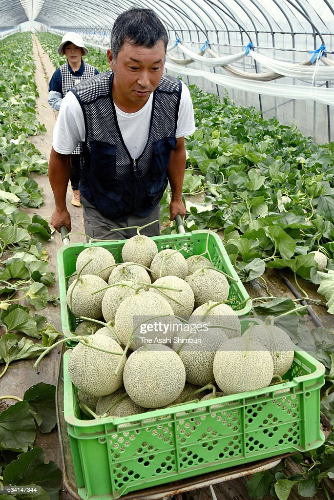 Farmer Tetsuaki Naganuma harvest Yubari melons on May 25, 2016 in Yubari, Hokkaido, Japan. The melon, specialty of Yubari city, fetched 1.5 million Japanese yen at last year's first auction.