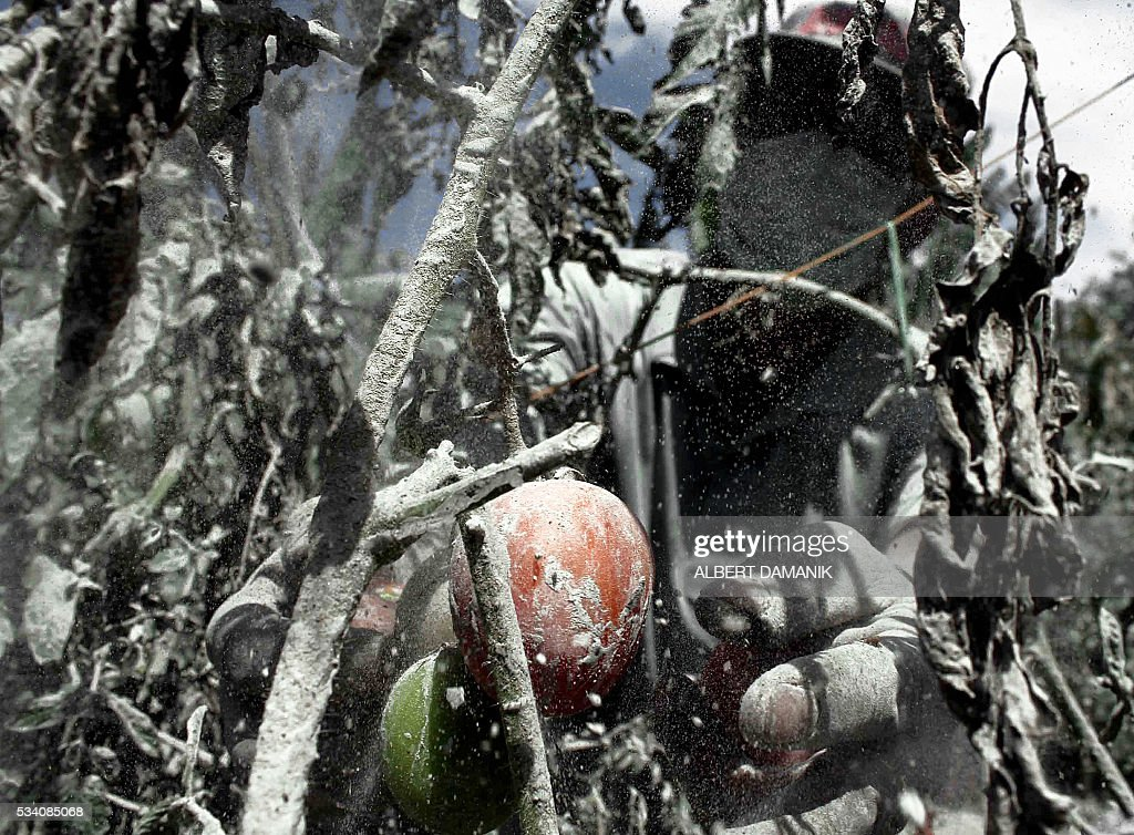 A farmer tries to salvage his tomatoes covered with ash from Mount Sinabung in Karo district in North Sumatra province on May 25, 2016 after the volcano erupted earlier this week. Indonesian rescuers searched for survivors in scorched villages and devastated farmlands on May 23 after the volcano erupted in clouds of searing ash and gas, killing seven and leaving others fighting life-threatening burns. / AFP / ALBERT