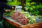 Farmer unloading bin of radishes on workbench