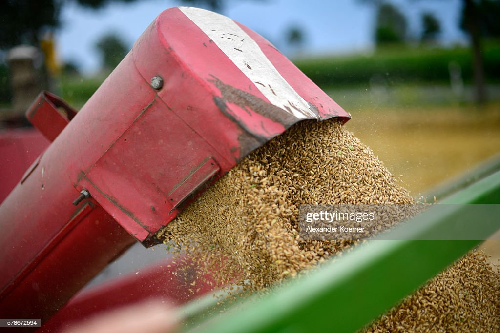 A farmer unloads summer wheat on July 21 2016 near Neustadt am Rubenberge Germany According to local farmers the water content of wheat harvested so...