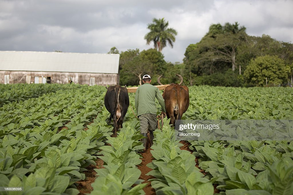 A farmer uses oxen to plough a field of tobacco plants on a plantation near Pinar del Rio, Cuba, on Monday, Jan. 14, 2013. In a country where the average monthly salary is $19, according to Cuba's statistics agency, even buying an airplane ticket will be beyond the reach of most of the island's 11 million residents as President Raul Castro begins easing travel rules on the communist island. Photographer: Andrey Rudakov/Bloomberg via Getty Images