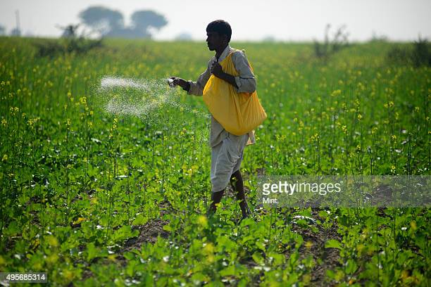 A farmer using fertilizer in his Mustard fields on November 24 2013 near Sawai Madhopur India