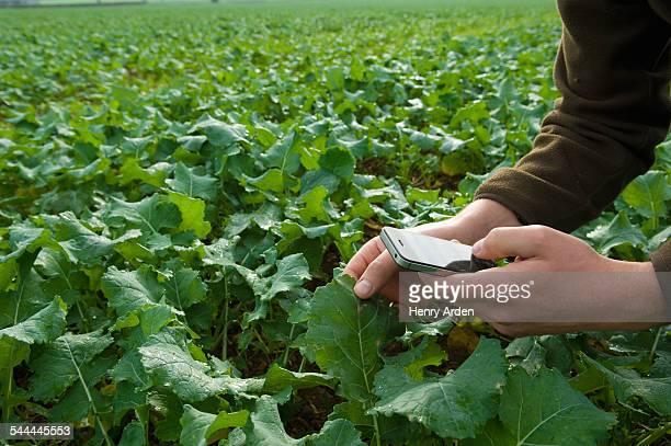 Farmer using smartphone to monitor field crop