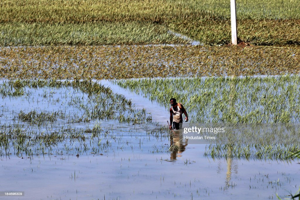 A farmer wade through a paddy field submerged in flood waters on October 15, 2013 in Balasore, India. Cyclone Phailin on Sunday left a trail of destruction knocking down lakhs of homes affecting nearly 90 lakh people and destroying paddy crops worth about Rs 2,400 crore, but Odisha and Andhra Pradesh escaped from widespread loss of life due to timely and efficient evacuation efforts .