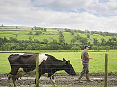 Farmer Walking With Cow