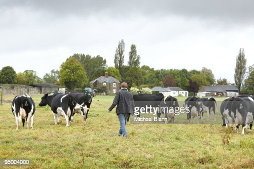 Farmer walking with cows in field : Stock Photo