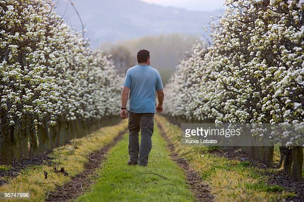 A farmer walks along a tree planting apple fruit in spring in Bierzo Castilla y Leon region 20th March 2009