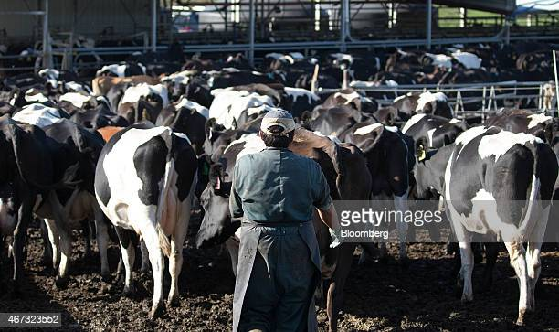 A farmer walks along as dairy cows make their way to a milking shed at a farm that supplies to Fonterra Cooperative Group Ltd in Hamilton New Zealand...